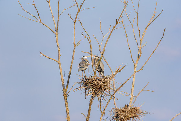 Great Horned Owl and Great Blue Heron sharing a nesting tree at Highland's Heron Rookery, Highland, IN