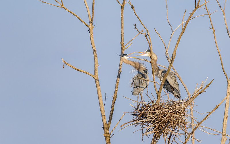 Great Blue Herons at Highland's Heron Rookery, Highland, IN