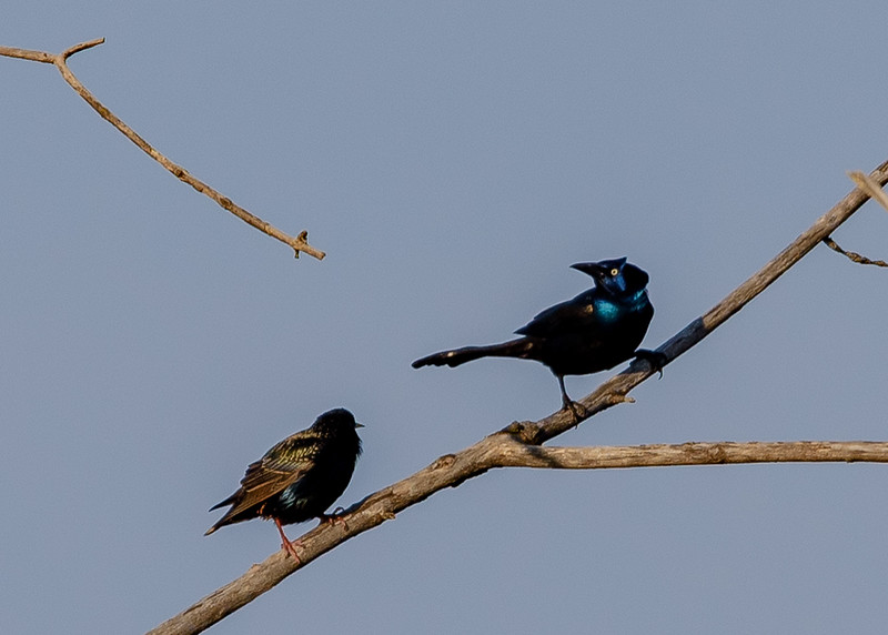 Common Grackle at Highland's Heron Rookery, Highland, IN