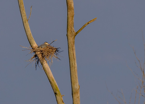 Great Blue Heron sitting on its eggs probably at Highland's Heron Rookery, Highland, IN