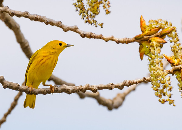 Yellow Warbler (male) at St. Mary's Lake, Notre Dame, IN