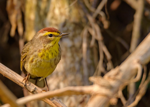 Palm Warbler at St. Joe County Park Boat Launch, Osceola, IN