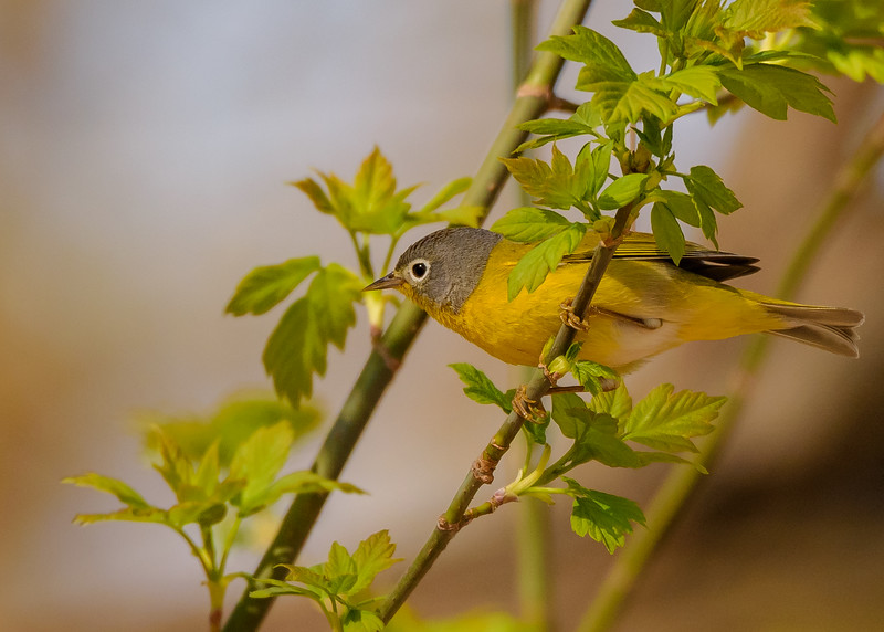 Nashville Warbler at St. Joseph's Lake, Notre Dame, IN