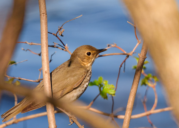 Swainson's Thrush at St. Joseph's Lake, Notre Dame, IN