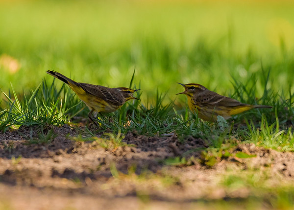 Palm Warbler at St. Joseph's Lake, Notre Dame, IN