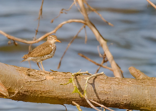Spotted Sandpiper at Bendix Park, Mishawaka, IN