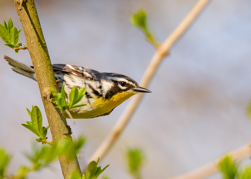 Yellow-throated Warbler at St. Joseph's Lake, Notre Dame, IN