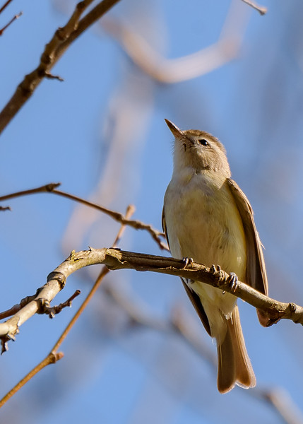 Warbling Vireo at St. Joseph's Lake, Notre Dame, IN