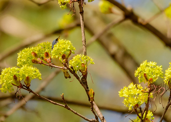 Northern Parula at St. Joseph's Lake, Notre Dame, IN