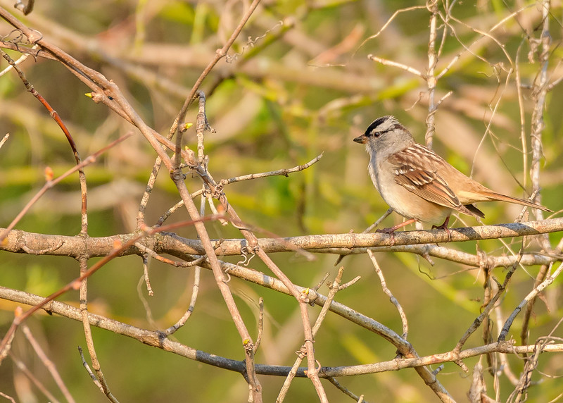 White-crowned Sparrow at Bendix Park, Mishawaka, IN