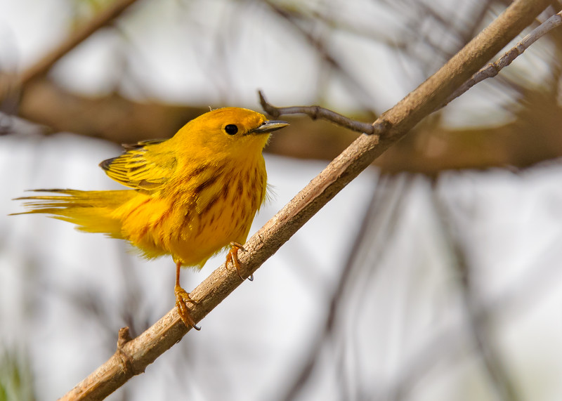 Yellow Warbler (male) at Bendix Park, Mishawaka, IN