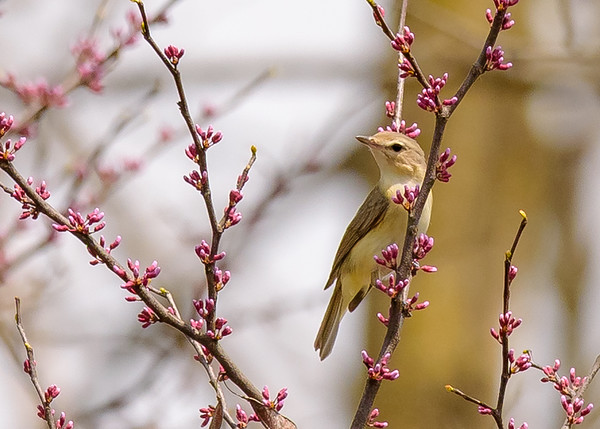 Warbling Vireo at St. Mary's Lake, Notre Dame, IN