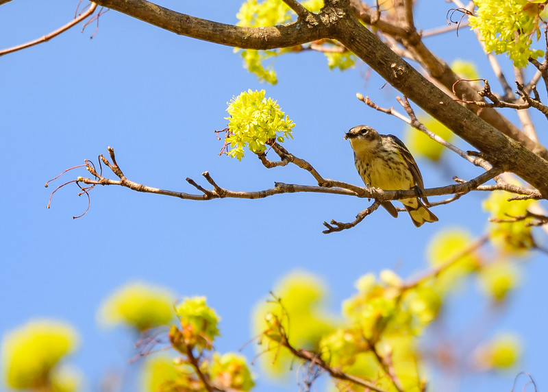 Yellow-rumped Warbler at St. Joseph's Lake, Notre Dame, IN