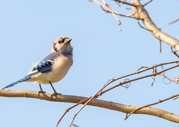 Blue Jay at Bendix Park, Mishawaka, IN