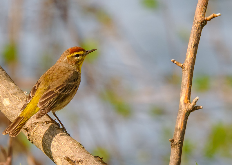 Palm Warbler at Bendix Park, Mishawaka, IN