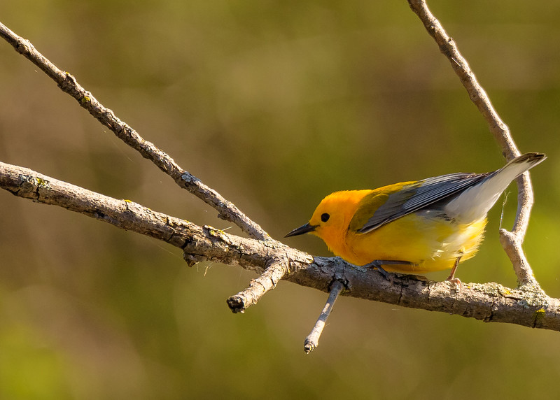 Prothonotary Warbler at St. Joseph's Lake, Notre Dame, IN