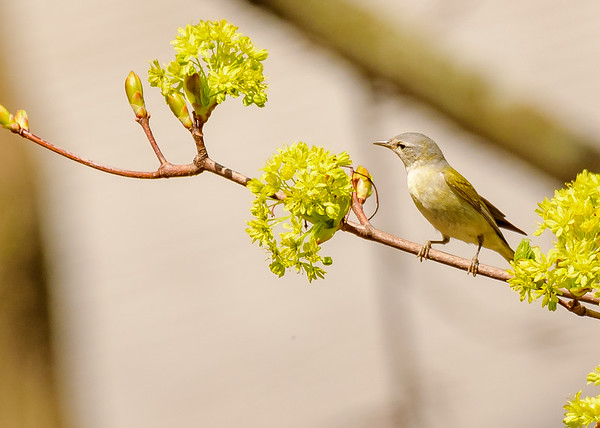 Tennessee Warbler at St. Joseph's Lake, Notre Dame, IN