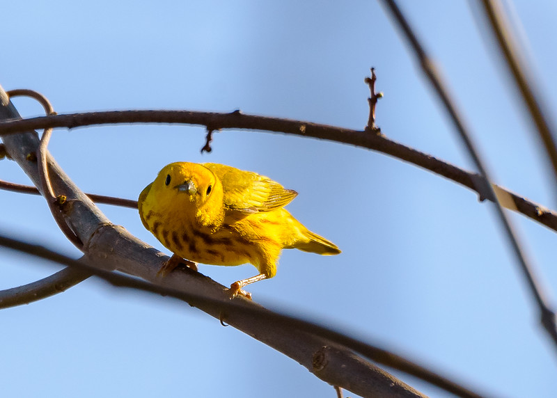 Yellow Warbler at St. Joseph's Lake, Notre Dame, IN