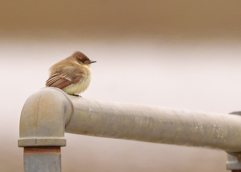 Eastern Phoebe at boat rental of Potato Creek State Park, North Liberty, IN
