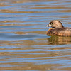 Pied-billed Grebe at St. Joseph's Lake, Notre Dame, IN