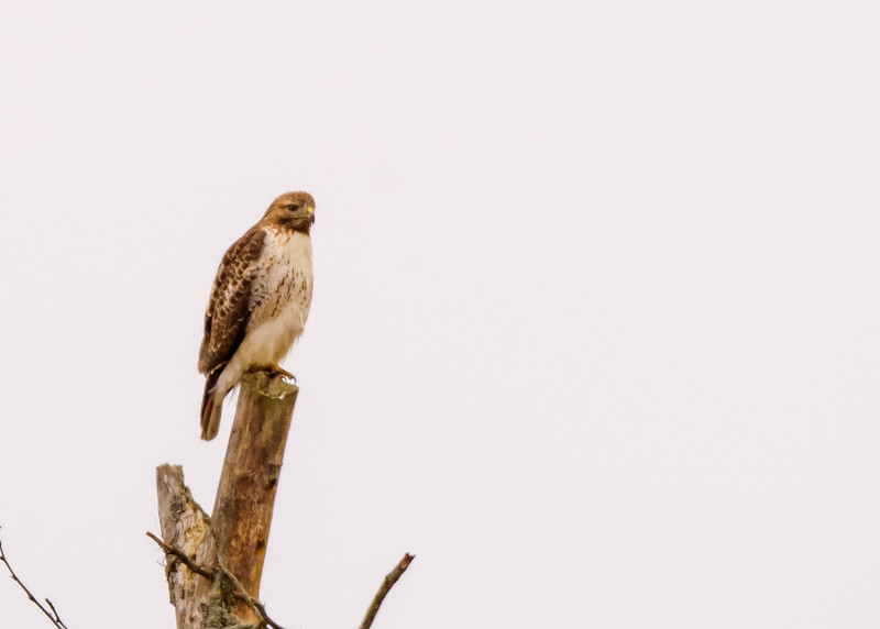 Red-tailed Hawk at Potato Creek State Park, North Liberty, IN