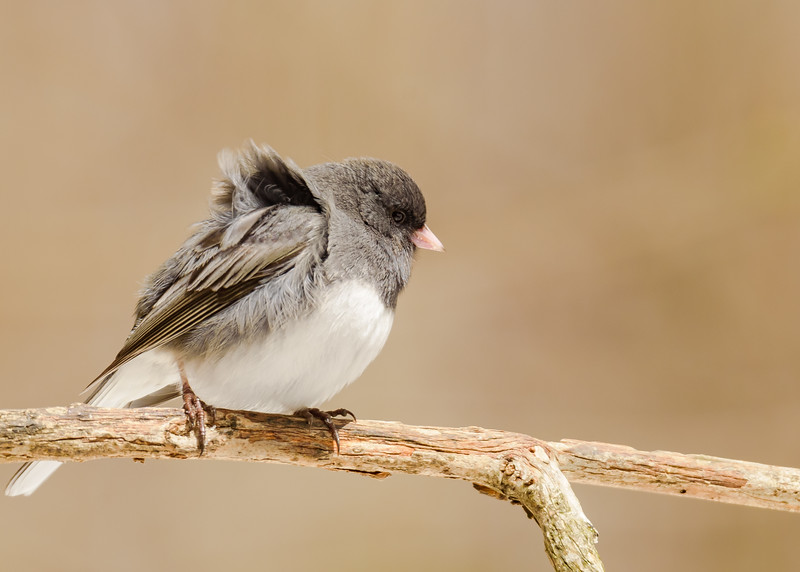 Dark-eyed Junco at Rum Village Nature Center, South Bend, IN
