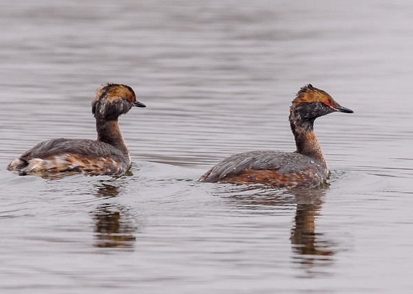 Horned Grebe at Bendix Park, Mishawaka, IN