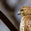 Red-tailed Hawk at Rum Village Nature Center, South Bend, IN