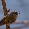 Golden-crowned Kinglet at St. Joseph's Lake, Notre Dame, IN