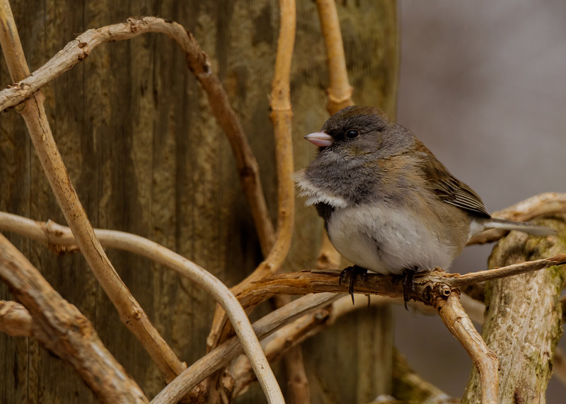 Dark-eyed Junco (Oregon) at Rum Village Nature Center, South Bend, IN