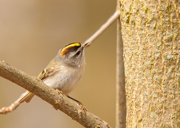 Golden-crowned Kinglet  at St. Mary's Lake, Notre Dame, IN
