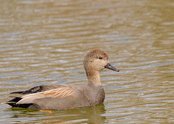 Gadwall (male) at St. Mary's Lake, Notre Dame, IN