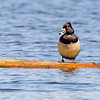 Ring-necked Duck (male) at Celery Bog Nature Area, West Lafayette, IN