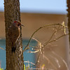 Northern Flicker at St. Joseph's Lake, Notre Dame, IN