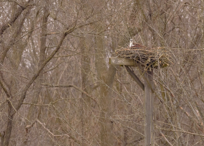 Osprey at trial 4 (east nest) of Potato Creek State Park, North Liberty, IN