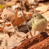Ruby-crowned Kinglet at Rum Village Nature Center, South Bend, IN