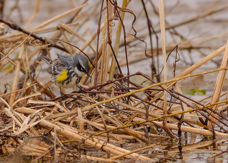 Yellow-rumped Warbler (male) at Miller Ditch Floodplain at Pierce Road