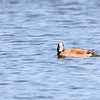 American Wigeon (male) at Celery Bog Nature Area, West Lafayette, IN