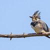 Belted Kingfisher (male) at St. Joseph's Lake, Notre Dame, IN