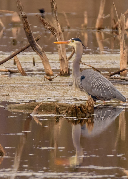 Great Blue Heron at Potato Creek State Park, North Liberty, IN