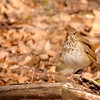 Hermit Thrush at Rum Village Nature Center, South Bend, IN