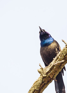 Common Grackle  at St. Mary's Lake, Notre Dame, IN