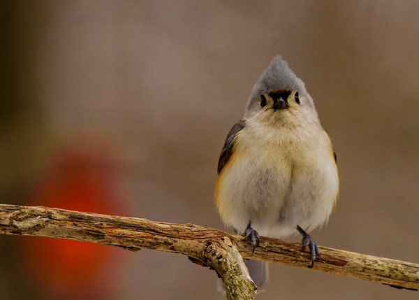 Tufted Titmouse at Rum Village Nature Center, South Bend, IN
