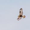 Rough-legged Hawk in flight at Reynolds Creek Game Bird Habitat