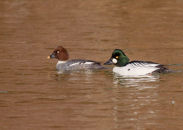 Common Goldeneye couple at riverside walk, South Bend, IN