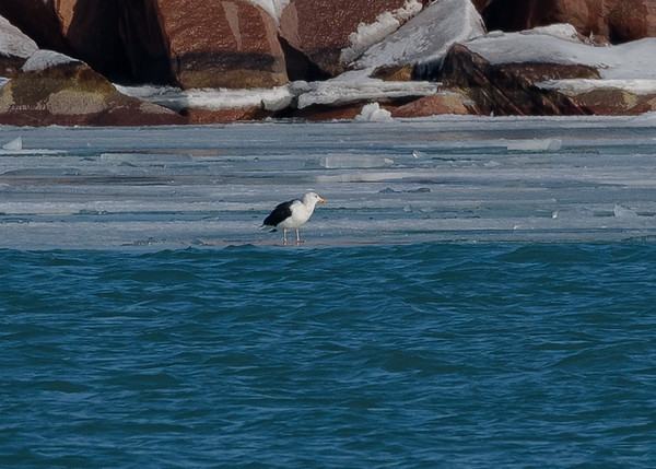 Great Black-backed Gull at Port of Indiana, Portage, IN
