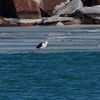 Great Black-backed Gull at Port of Indiana