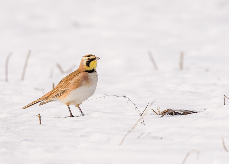 Horned Lark at Reynolds Creek Game Bird Habitat, Michigan City, IN
