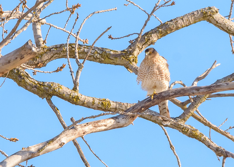 Cooper's Hawk near Riverside Trail, South Bend, IN