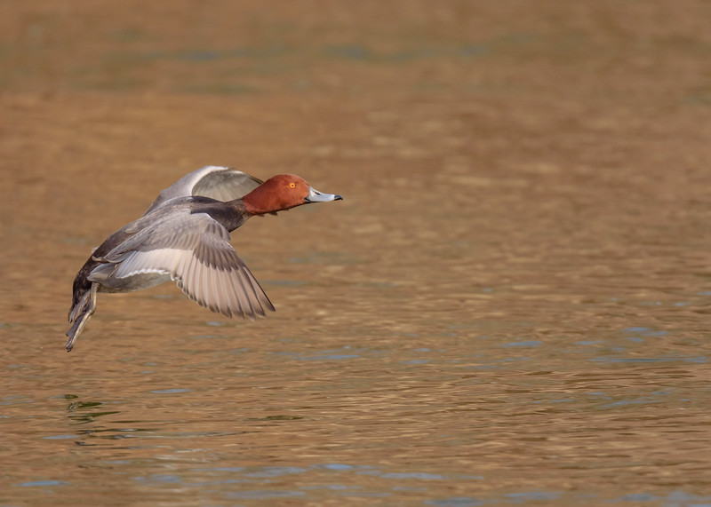 Redhead (male) in flight at riverside walk, South Bend, IN